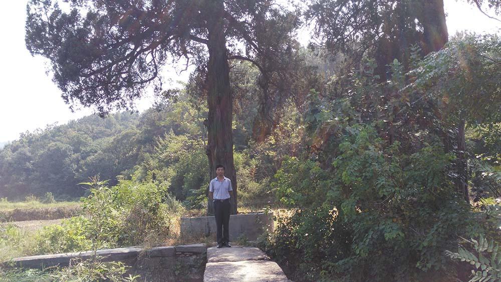 桥边老杨树