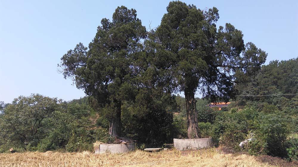 毕刘氏百年老柏树